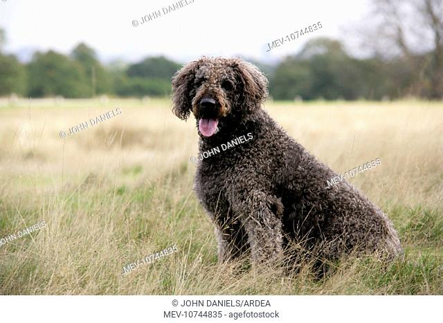 Chocolate labradoodle sitting in field
