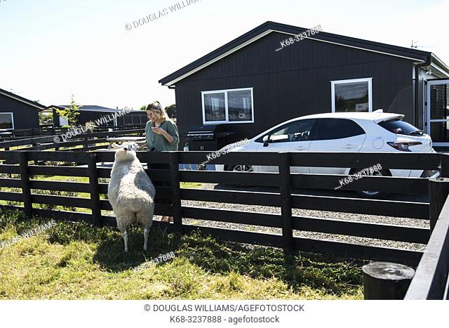 Woman with a sheep in Napier, New Zealand