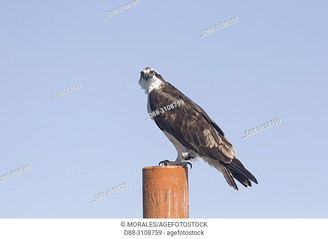 Central America, Mexico, Baja California Sur, Guerrero Negro, Ojo de Liebre Lagoon (formerly known as Scammon's Lagoon), Osprey (Pandion haliaetus), adult