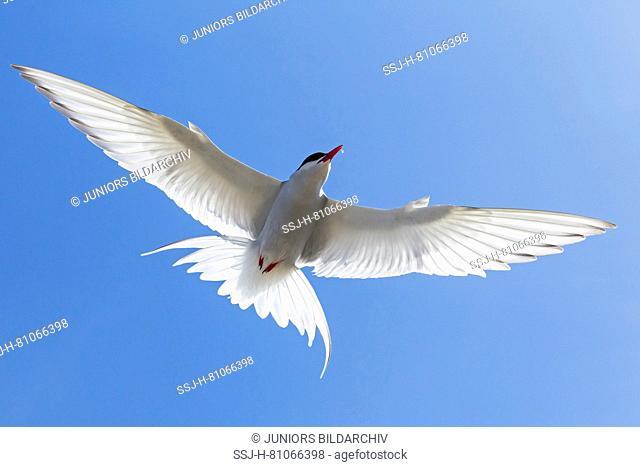 Arctic Tern (Sterna paradisaea), adult in flight. Germany
