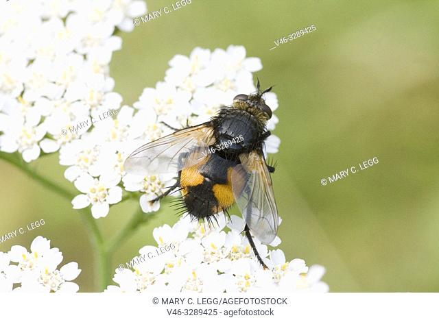 Tachina fera, parasiticTachinid fly. Length 9-14mm. Wingspan 16-27mm. Body is orangish with black stripe along the center with bristly black hairs at rump