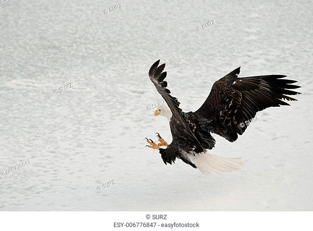 Bald Eagle lands on snow-covered ice. Chilkat Bald Eagle Preserve, Haines, Alaska, USA. Haliaeetus leucocephalus