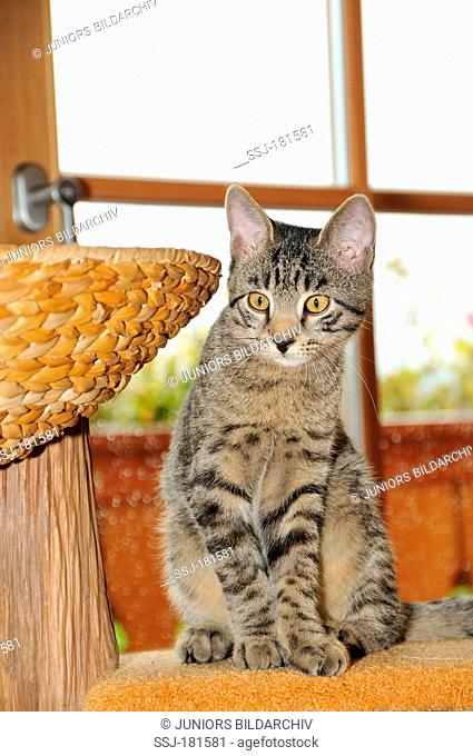 Domestic Cat. Tabby kitten sitting on a carpet-covered perch on a scratching post