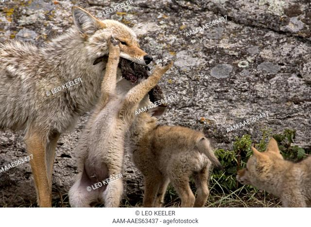 Coyote and young in Yellowstone National Park