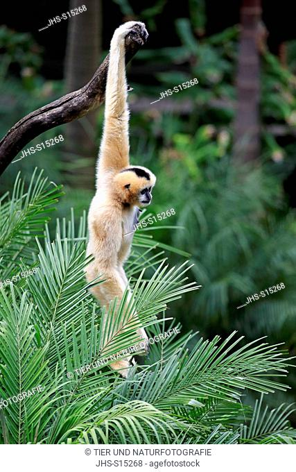Northern White-Cheeked Gibbon, (Nomascus leucogenys), adult female on tree, Asia