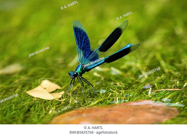 bluewing, demoiselle agrion (Calopteryx virgo), display behaviour of a male, Germany, Bavaria, Isental