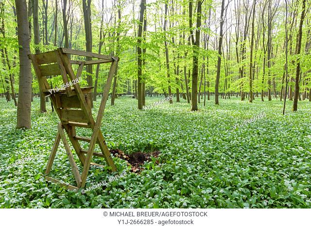 Hunting Blind in European Beech Forest (Fagus sylvatica) with Ramson (Allium ursinum) in Spring, Hesse, Germany, Europe