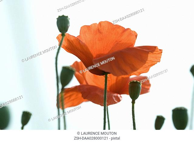 Poppies, close-up