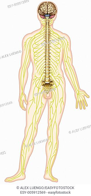 Human figure showing the nervous system includes the brain, spinal cord, nerve and branching verbral column