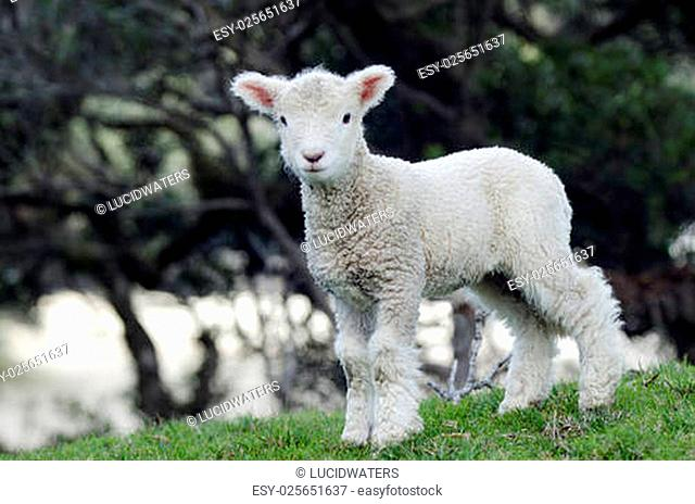 Perendale Sheep lamb.It's a breed of sheep developed in New Zealand by Massey Agricultural College (now Massey University) for use in steep hill situations