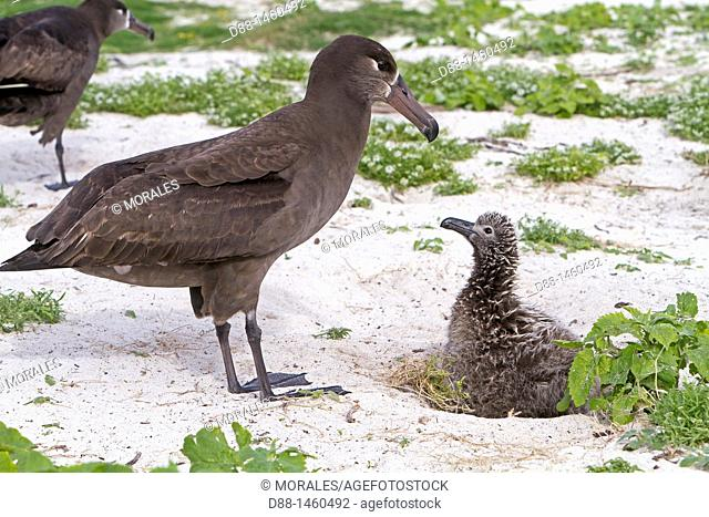 Black-footed Albatross (Phoebastria nigripes), adult with young, Sand Island, Midway Atoll National Wildlife Refuge, Hawaii, USA