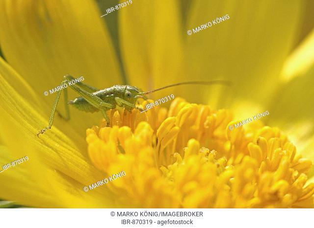 Larva of the Speckled Bush-Cricket (Leptophyes punctatissima)