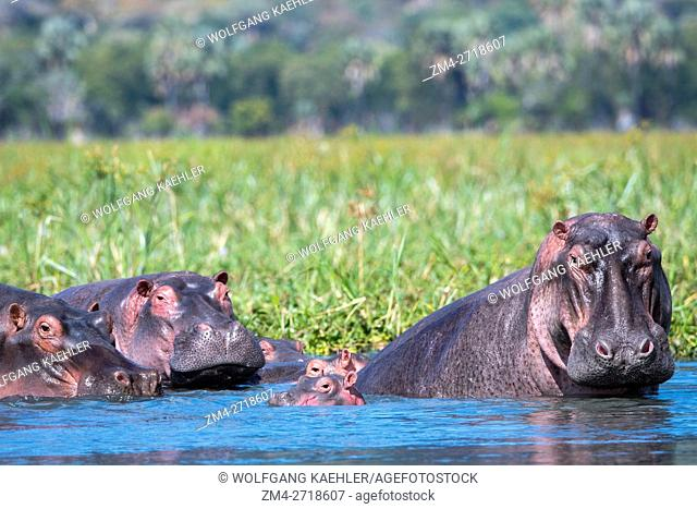 A group of Hippopotamus (Hippopotamus amphibius) with babies along the shore of the Shire River in Liwonde National Park, Malawi