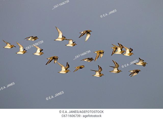 Golden Plover Pluvialis apricaria Flock Cley Norfolk Autumn