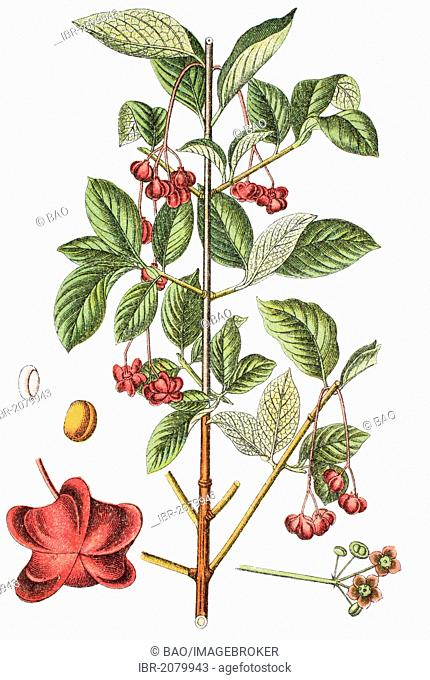 Spindle or spindle tree (Euonymus latifolius), medicinal and useful plant, chromolithograph, 1881, historical illustration