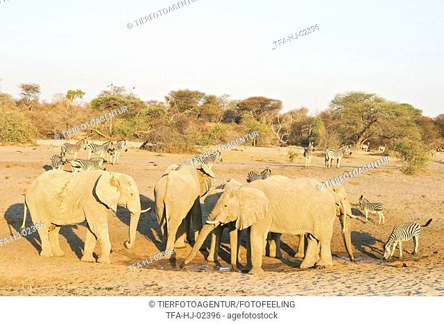 African Elephants and zebras