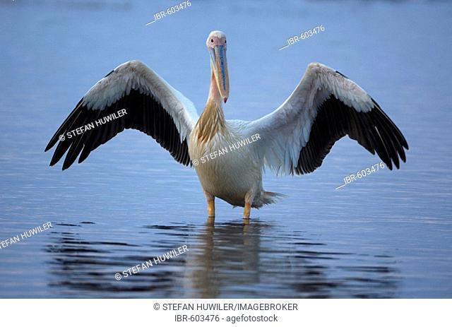 White pelican (Pelecanus onocrotalus) with spread wings, Lake Nakuru, Kenya, Africa
