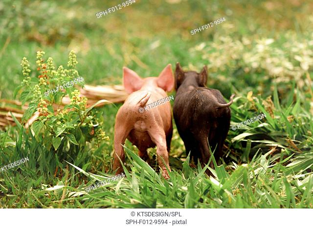 Two piglets in the grass, rear view