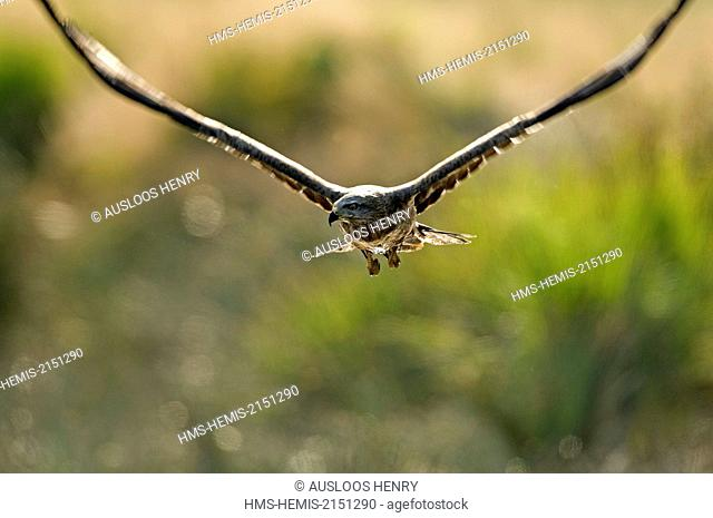 Black Kite (Milvus migrans), in flight