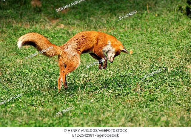 Red Fox - Pouncing on mouse Vulpes vulpes, France