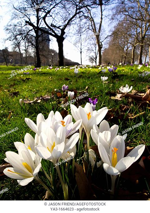 England, London, Hyde Park  Crocuses flowering in early spring at Hyde Park in London