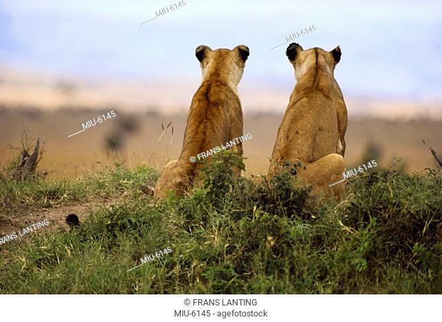 Lionesses watching for prey, Panthera leo, Masai Mara Reserve, Kenya