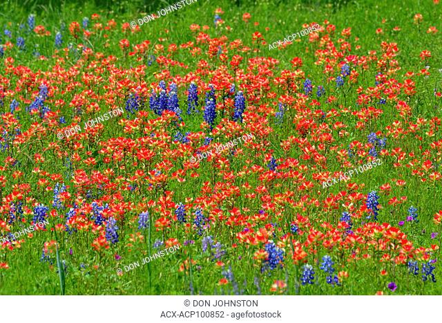 A field with flowering Texas bluebonnet (Lupinus subcarnosus) and Texas paintbrush (Castilleja indivisa), Travis County, Texas, USA