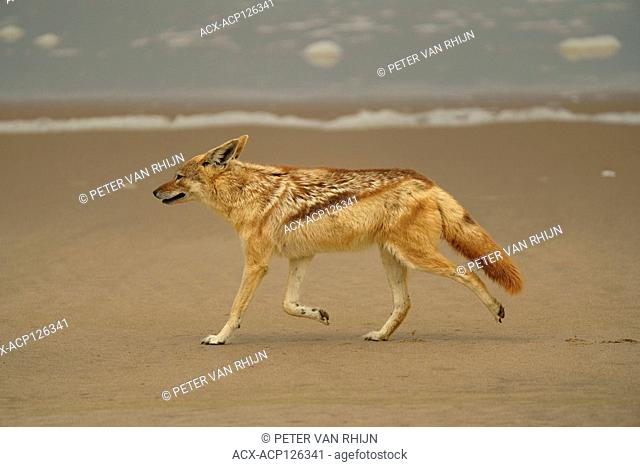 Black-backed Jackal (Canis Mesomelas). Near Sandwich Harbour on the Atlantic coast, Walvis Bay,western Namibia,Africa