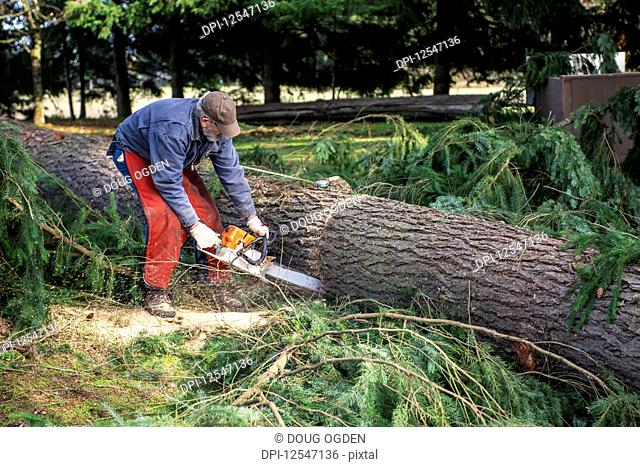 Logger cuts a large Douglas Fir into timber length pieces; Olympia, Washington, United States of America