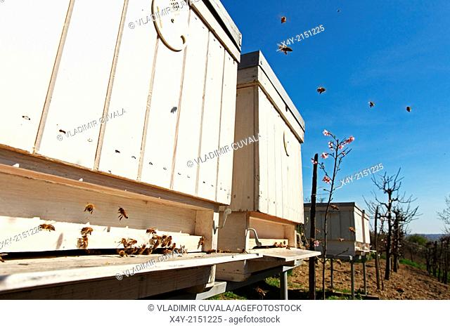 Flying Western honey bees (Apis mellifera) approaching the entrance of beehives. Location: Male Karpaty, Slovakia