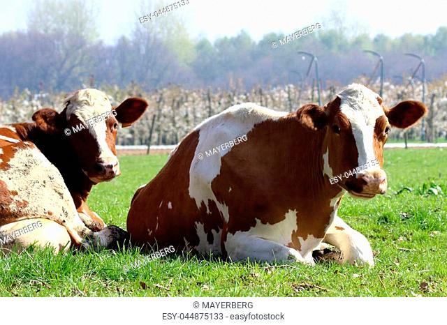 Herd animals such as cattle are very social animals