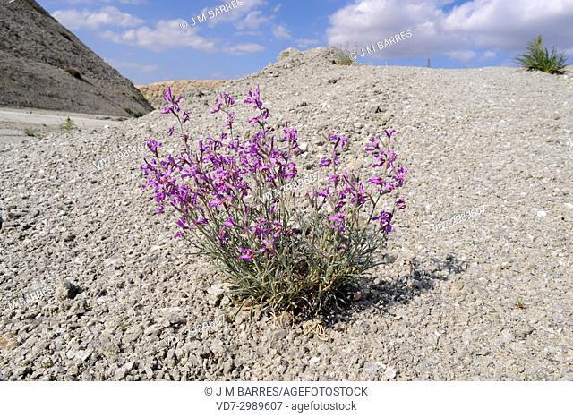 Alheli de campo (Matthiola fruticulosa) ia a perennial herb native to mediterranean region. This photo was taken in Tajuna Valley, Madrid, Spain