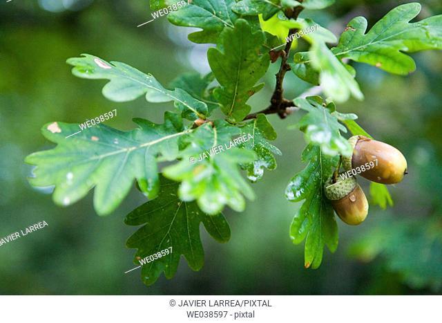 Oak in botanical garden, Pagoeta Natural Park, Aia. Guipuzcoa, Euskadi, Spain