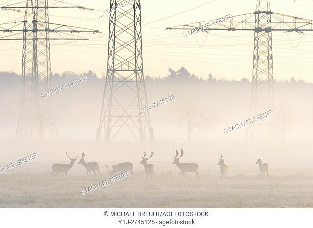 Herd of Fallow Deers (Cervus dama) in Front of High-Voltage Power Line on misty morning, Hesse, Germany, Europe