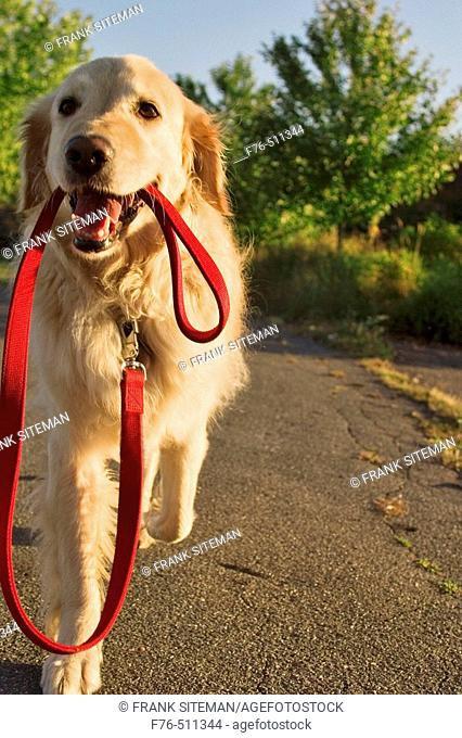 Golden retriever carrying her own lead
