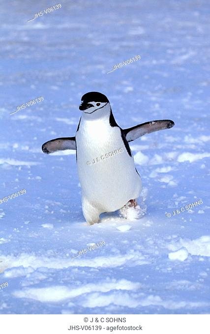 Chinstrap Penguin, (Pygoscelis antarctica), Antarctica, Brown Bluff, adult walking in snow spreads wings