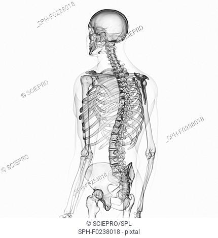 Illustration of the human skeleton