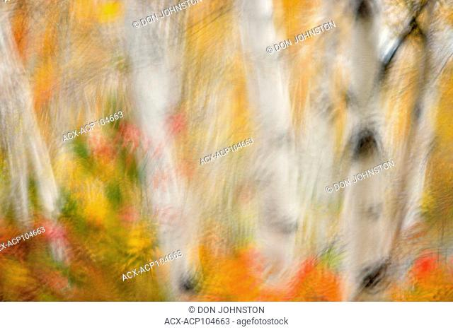 White birch tree woodland in autumn colour at Lake Laurentian Conservation area as seen through a rain-soaked windshield, Greater Sudbury, Ontario, Canada