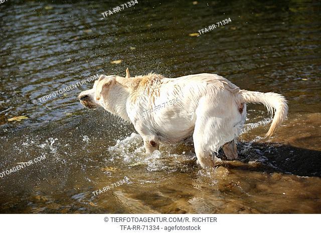 shaking Labrador Retriever