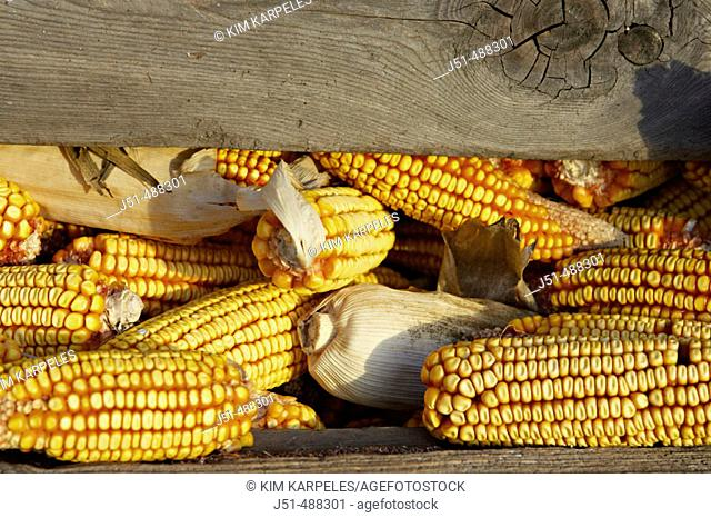 Wisconsin. Kenosha County Wooden and wire corn bin full of ears of ripe field corn following harvest, ears of corn between wood slats