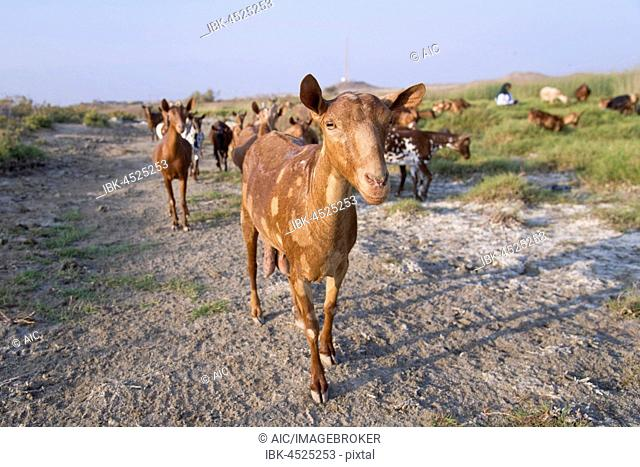 asia, arabian peninsula, oman, jabrin, Stock Photo, Picture