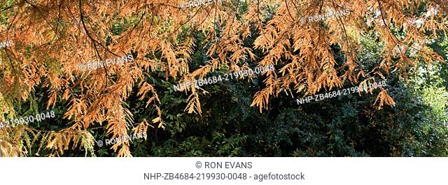 foliage in autumn of taxodium distichum (swamp cypress) in autumn colour at trentham gardens staffordshire in november