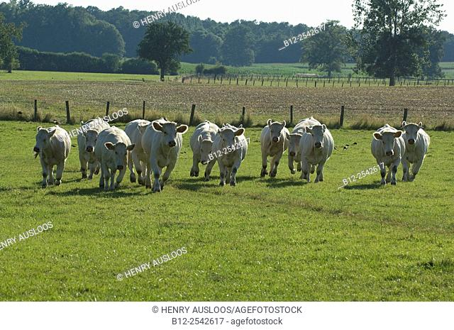 Charolais Bos taurus Cattle, Cow, Running, France