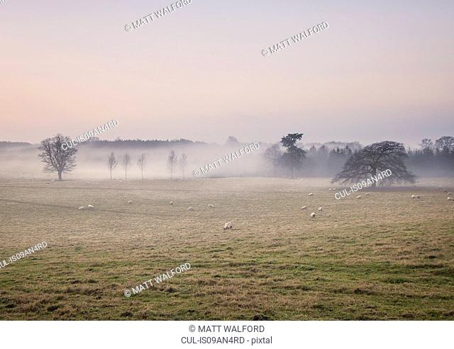 Sheep grazing in foggy field at sunrise