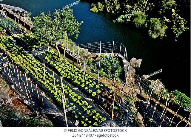 Lettuces field, Grandas de Salime, Asturias, Spain