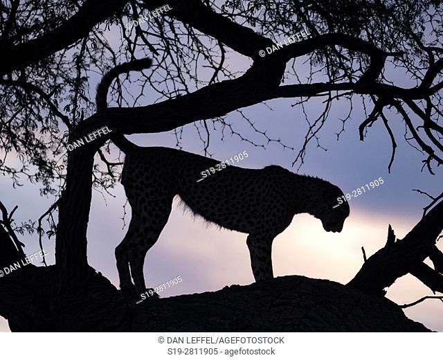 Botswana. Cheetah
