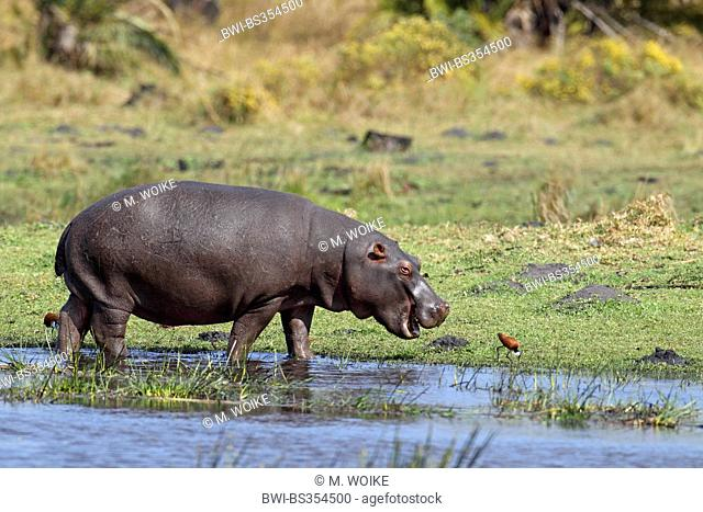hippopotamus, hippo, Common hippopotamus (Hippopotamus amphibius), standing in shallow water, South Africa, St. Lucia Wetland Park