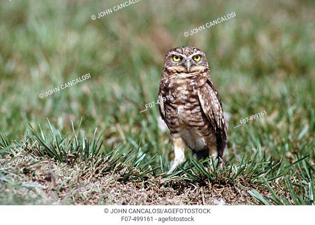 Burrowing Owl (Speotyto cunicularia). Venezuela