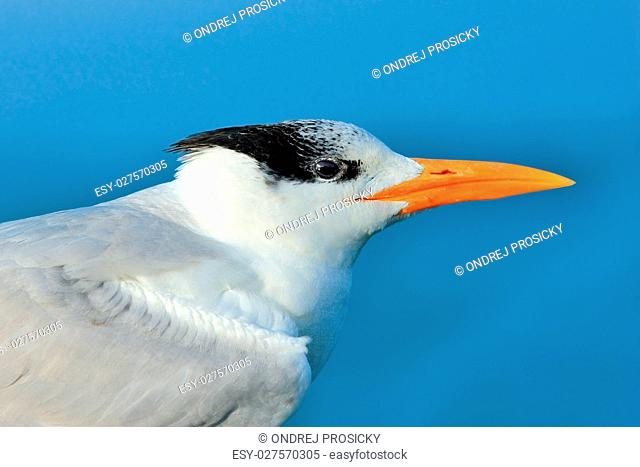 Detail portrait of tern. Tern in the water