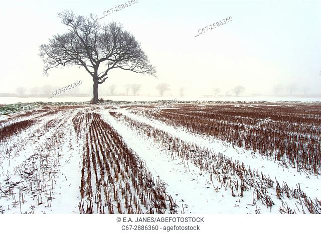 Arable and Oaks in fog and snow Southrepps Norfolk